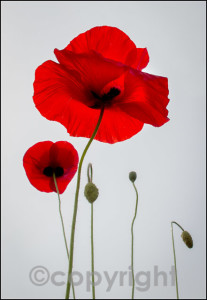 zPoppies - 123