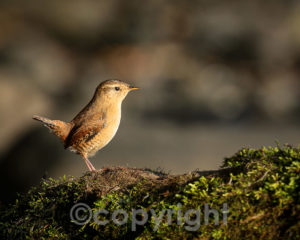 """Wren"" - Colin's competition winner"